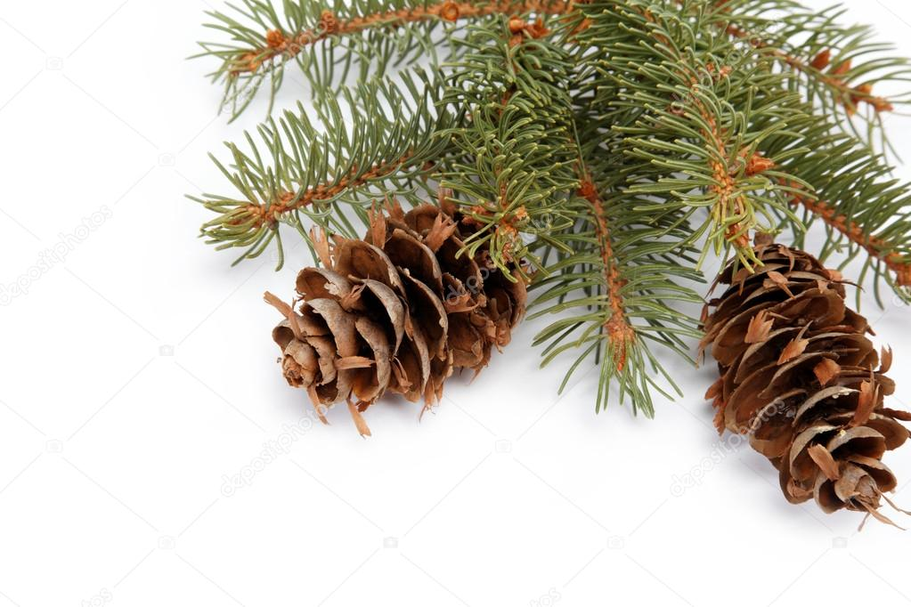 Spruce branch with cone on a white background — Photo #14566893