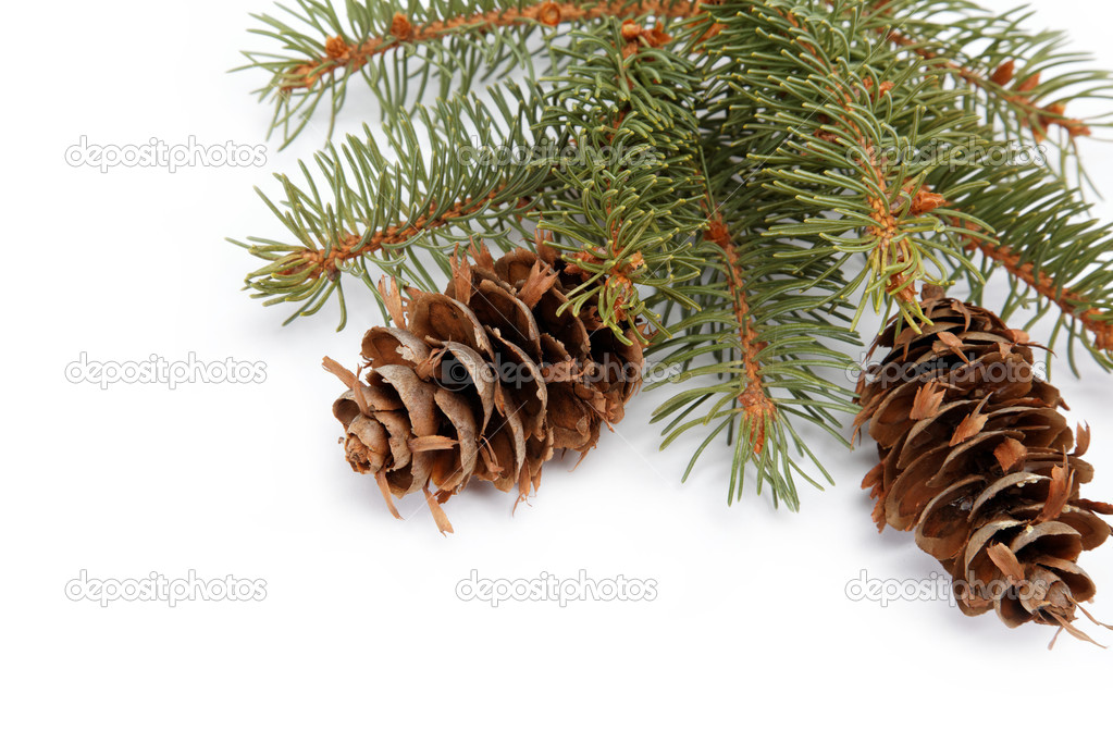 Spruce branch with cone on a white background — Stok fotoğraf #14566893