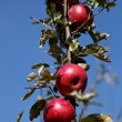 Ripe red apples on a branch against the blue sky. — Photo