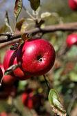 Rijpe rode appels op een tak. — Stockfoto