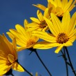 Yellow topinambur flowers (daisy family) against blue sky — Stock Photo #15370009