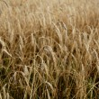 Stock Photo: Golden barley field
