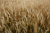 Golden barley field — Stock Photo