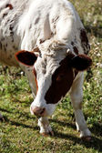 White and brown cow eating the green grass in the meadow. — Stock Photo