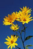 Yellow topinambur flowers (daisy family) against blue sky — Stock Photo