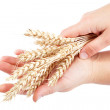 Ears of wheat in female hands isolated on the white background. - Stock Photo