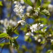 White flowers of the cherry blossoms on a spring day. — Stock Photo #20423163