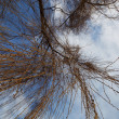 Willow tree branch on a background of blue sky and clouds. — Stock Photo #20976023