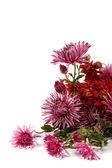 Bouquet of red flowers, chrysanthemums isolated on white backgro — Stock Photo