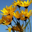 Yellow topinambur flowers (daisy family) against blue sky - Stock Photo