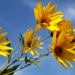Yellow topinambur flowers (daisy family) against blue sky — Stock Photo #26307199