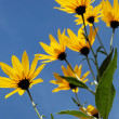 Yellow topinambur flowers (daisy family) against blue sky — Stock Photo #26400963