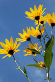 Yellow topinambur flowers (daisy family) against blue sky — Stock Photo