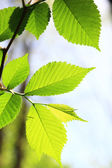 Spring green leaves background in a sunny day — Stock Photo