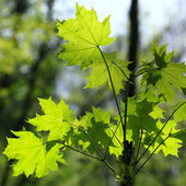 Spring green leaves background in a sunny day. — Stock Photo