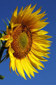 Sunflower against the blue sky. — Stock Photo