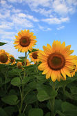 Sunflowers in the field against the blue sky. — Stock Photo