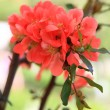 Japanese flowering quince branches. — Stockfoto #41672413