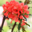 Foto Stock: Japanese flowering quince branches.