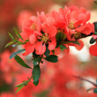 Photo: Japanese flowering quince branches.