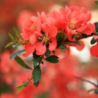 Foto de Stock  : Japanese flowering quince branches.