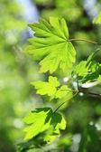 Feuilles vertes sur une journée ensoleillée comme toile de fond. — Photo