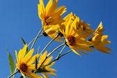 黄色 topinambur 花 (菊科) 蓝天的衬托 — 图库照片