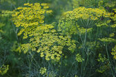 Fennel flower on a green background. Flower of dill. — Stock Photo