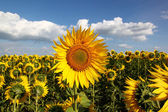 Sunflowers in the field against the blue sky with clouds. — Stock Photo