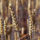 Ears wheat in a field as a background. — Stock Photo