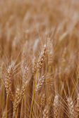 Ears young wheat in a field. — Stock Photo