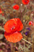 Beautiful red poppies in a field. — Stock Photo