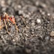 Red ant alone — Stock Photo