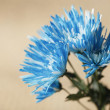 Bright Blue Chrysanthemum Flowers — Stock Photo