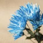 Bright Blue Chrysanthemum Flowers — Stock Photo