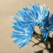 Stock Photo: Bright Blue Chrysanthemum Flowers
