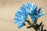 Bright Blue Chrysanthemum Flowers — 图库照片