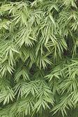 Green bamboo leaf background — Stock Photo