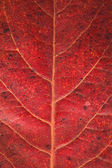 Malabar leaf textur — Stock Photo