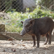 Boar in cage — Stock Photo #40884623