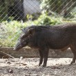 Boar in cage — Stock Photo #40884631