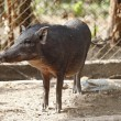 Boar in cage — Stockfoto