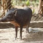 Boar in cage — Foto Stock