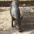 Boar in cage — Stock Photo #40884671