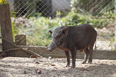 Boar in cage — Stock Photo