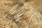 Dry straw bundle — Foto Stock