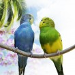 Royalty-Free Stock Photo: Budgerigar Parrots