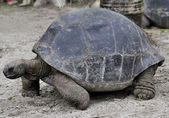 Galapagos Giant Tortoise — Stock Photo