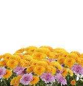 Mums Flowers — Stock Photo