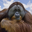 Orangutan — Stock Photo #13820654